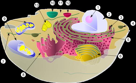 1280px-Biological_cell.svg