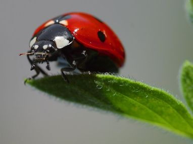 800px-Ladybird